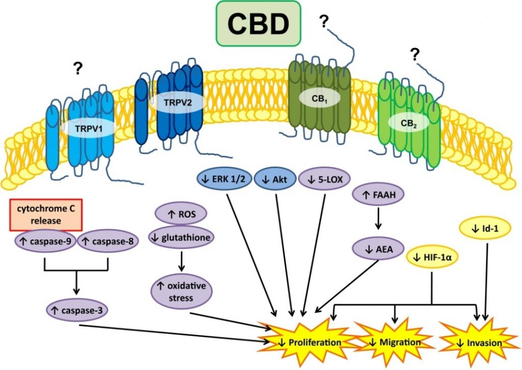 cbd_and_glioblastoma