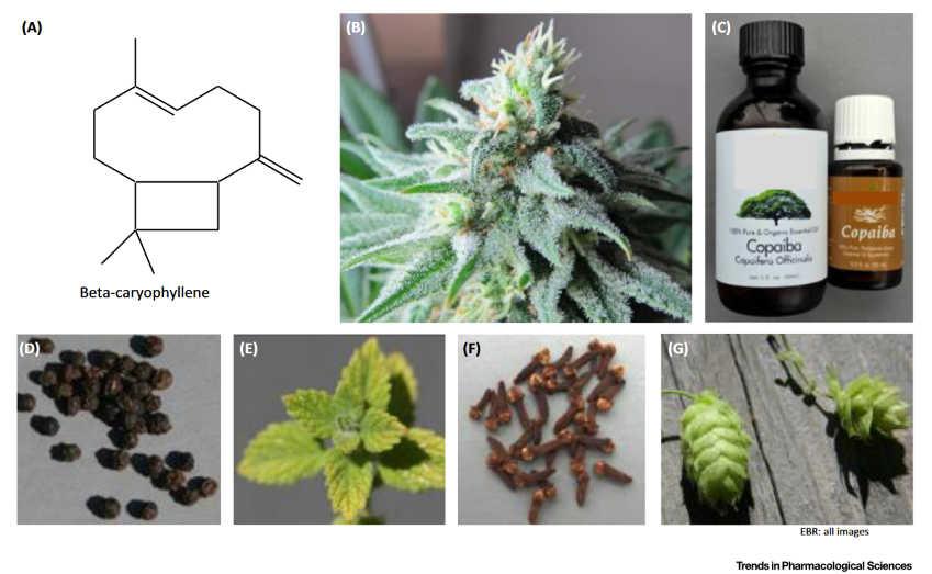 Φυτά και Ενδοκανναβινοειδές Σύστημα 5